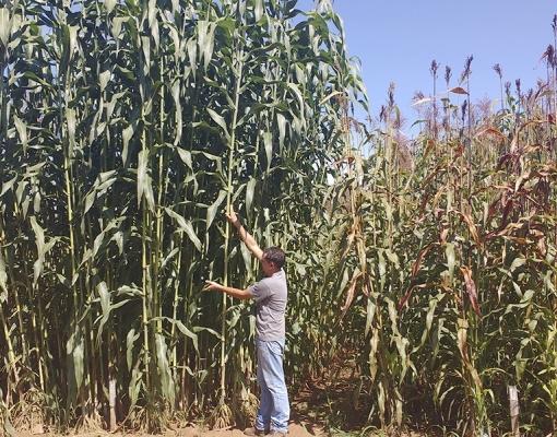 Pesquisa mostra potencial do sorgo para produção de biocombustível