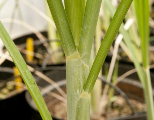 Gene pode acelerar o crescimento da cana