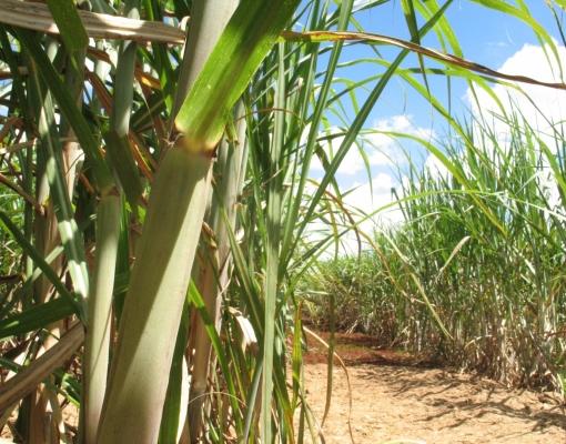 IBGE divulga números da produção de cana