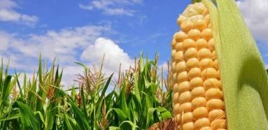 Etanol de milho competitivo pode baratear combustível no Brasil