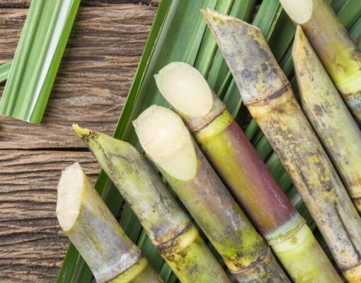 Pesquisa pretende selecionar microrganismos que combatam a broca-podridão da cana-de-açúcar