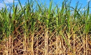 Com 12,4 milhões de toneladas, safra da cana-de-açúcar tem início mais lento