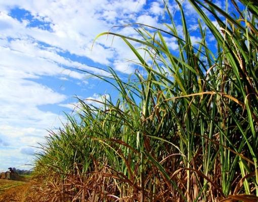 São Paulo - Cerca de 70 municípios serão alvo de pesquisa de atualização da safra de cana-de-açúcar