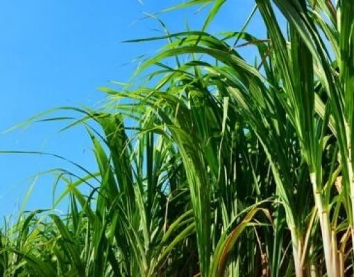 Plantio de cana: saiba o que é preciso fazer antes do replantio para baixar os custos